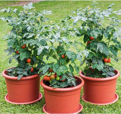 Tomatenpflanzen aus dem Schulgarten