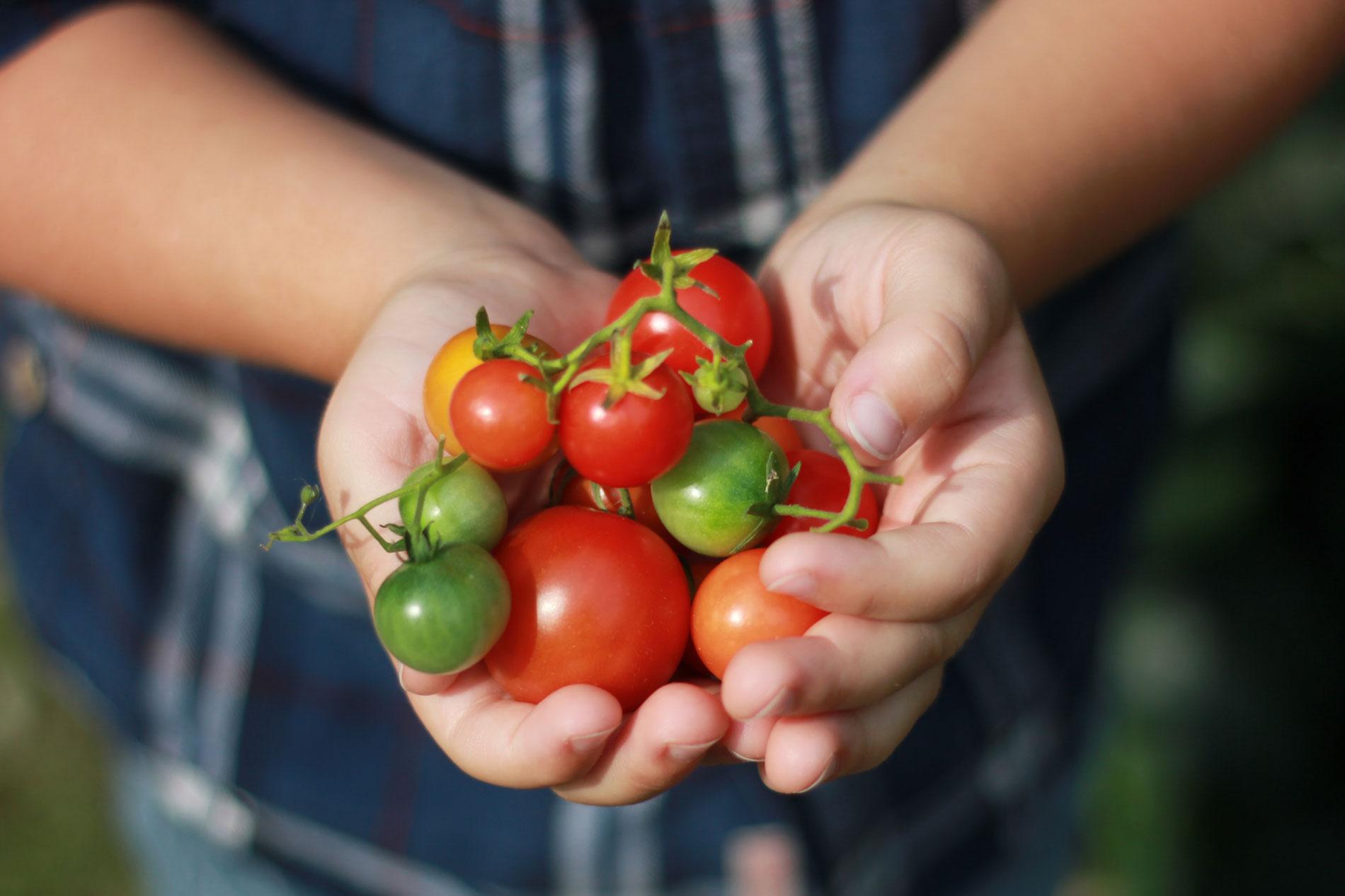 1001 Tomaten warten ...